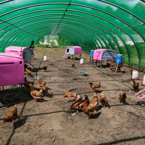 Chickens at The Clink Gardens at HMP Send