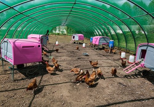 Chickens at Clink Gardens